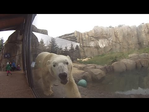 New Polar Bear Exhibit Lincoln Park Zoo