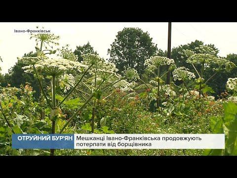Канал 402: Мешканці Івано-Франківська продовжують потерпати від борщівника
