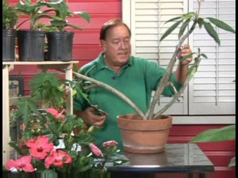 plants growing needs growing plumeria plants