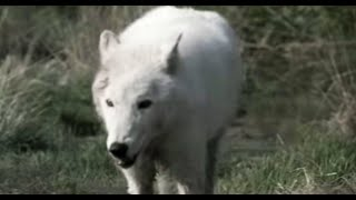 Lobo in love | Lobo | The Wolf That Changed America | BBC