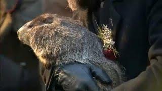 Ogni 2 febbraio l'animale viene fatto uscire dalla tana per le previsioni del tempo. se vede la sua ombra, l'inverno continua a lungo; non vede, pri...
