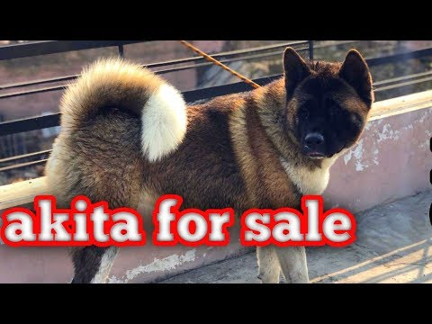Akita puppies available for sale