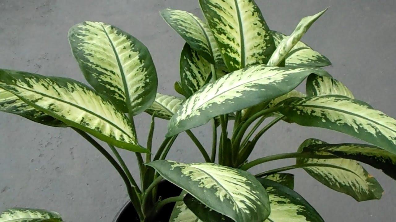 Diffenbachia seguine 1 variedad de hojas medianas for Plantas decorativas hojas