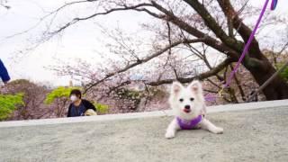 りんちゃん生後4ヶ月、犬生初めてのお花見です。和ンの心を学びましょう...