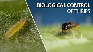 Biological control of thrips - Orius laevigatus