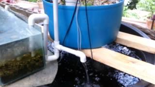 Small-Scale Tilapia Aquaponics in Trinidad Video#3- 2013-04-11