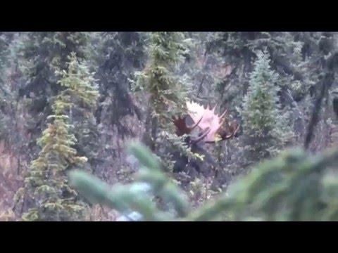 7mm Rem Mag vs moose 2015