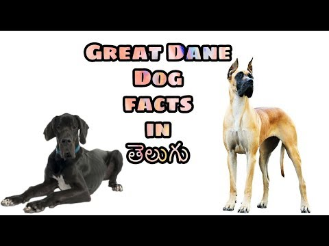 Great Dane dog Facts in Telugu | popular breed dog  | Taju logics