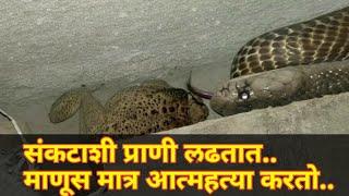 पहा भल्या मोठ्या नागाचा रेस्क्यू..very big cobra rescued by Anand Chitti