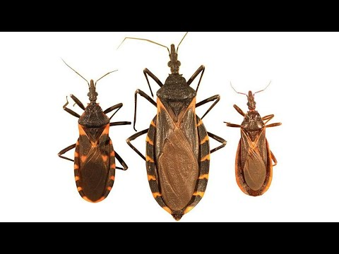 'Kissing Bug' Moves Closer To NY And NJ
