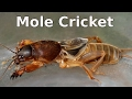 Mole Cricket - Gryllotalpa sp and its Chirping Call