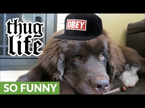 Newfoundland puppy joins the thug life