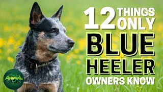 12 Things Only Blue Heeler Dog Owners Understand