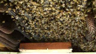 Beekeeping,PART1,Honey Bees Hive building removal.Beekeeper John Pluta saves Bees,Beehive