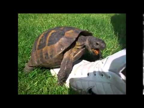 Tortoise having sex with shoe