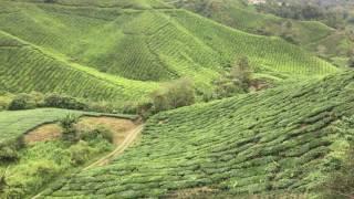 Kuala Lumpur - Cameron Highlands, BOH! Tea Plantation