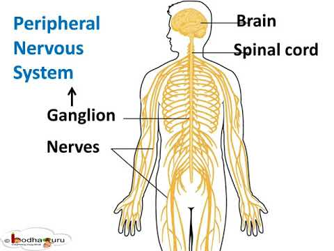 तंत्रिका तंत्र – Peripheral Nervous system - Control and coordination - Part 5 – Hindi