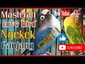 Masteran Love Bird Ngekek Panjang Part I  Mp3 - Mp4 Download