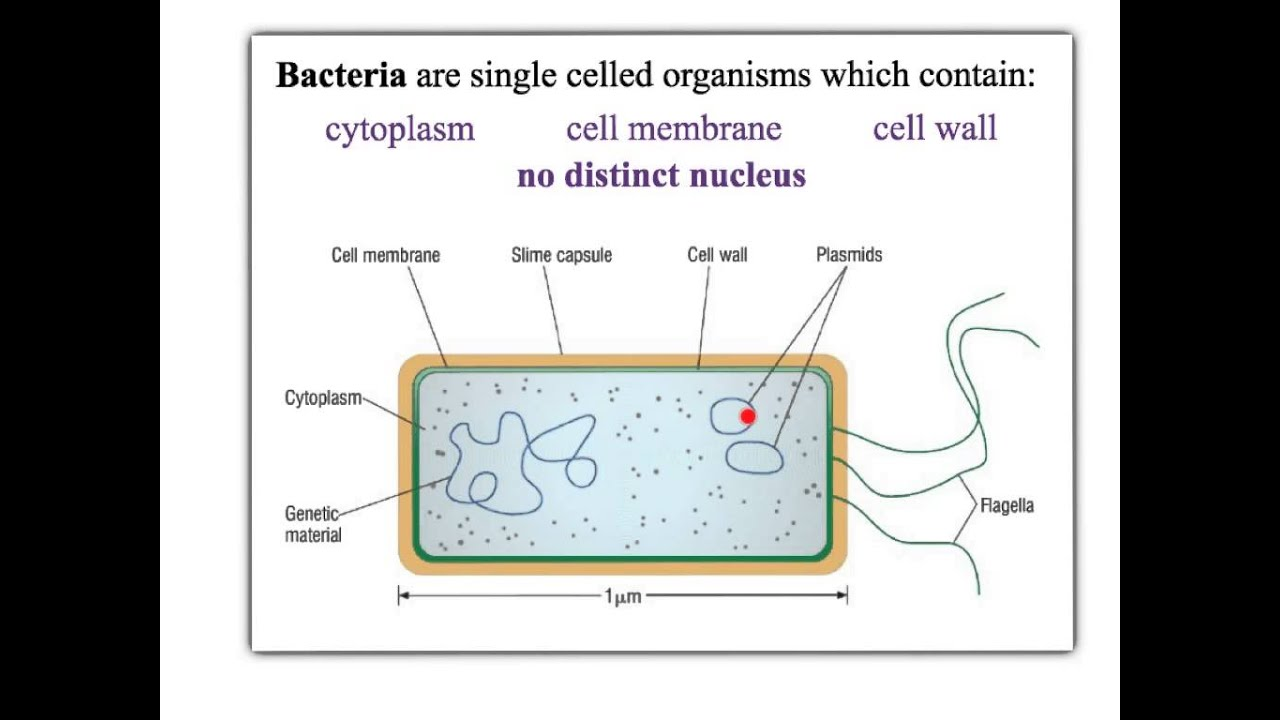 Bacterial Cell Diagram And Functions Reading Wire Diagrams B2 1 Cells Simple Transport Aqa Youtube