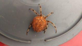 Крымский паук крестовик