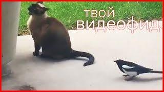 СОРОКА VS КОТ || Видеофид