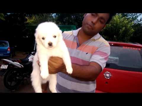 Cuteness overload... Culture pom look😍😘😇...Pomeranian puppies for sale - DOGGYZ WORLD 8813825366