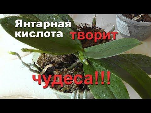 Янтарная кислота творит чудеса! Оживит орхидеи и заставит цвести круглый год!