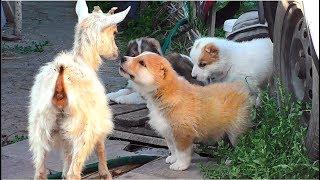Любопытные щенки Алабая (среднеазиатской овчарки). Curious puppies of the Central Asian Shepherd.