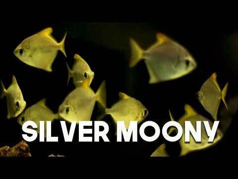 Silver Moony : Fantastic Ocean Fish