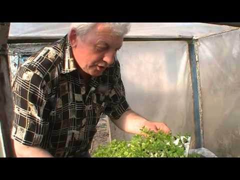 Выращивание саженцев смородины из одной почки