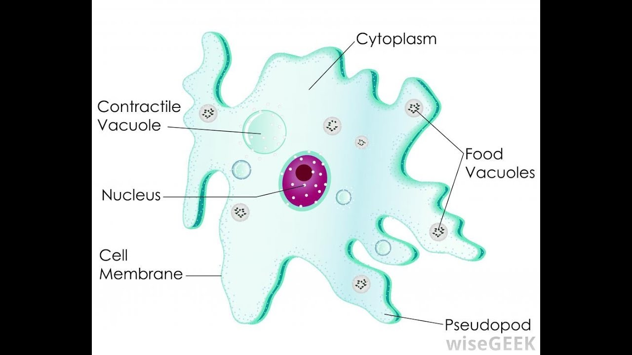 amoeba diagram youtube diagram of amoeba well labelled diagram of amoeba labelled [ 1280 x 720 Pixel ]