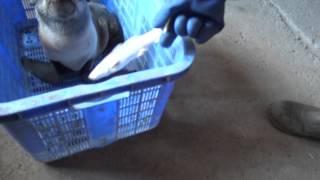 Спасение детёныша морского котика. Кормление.
