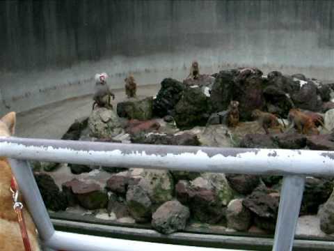北海道犬とサルーキとマントヒヒ♪