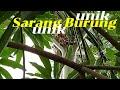Sarang Burung Gereja Di Pohon Pinang Tahun Baru  Dirumah Aja Pandemic  Mp3 - Mp4 Download