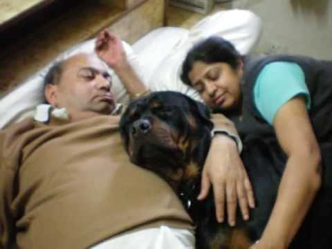 JAZZ the rottweiler is not just a pet , he is a family member
