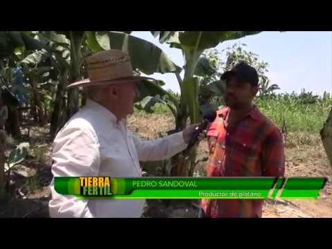 TIERRA FÉRTIL plantación de plátano (13 de junio de 2015)