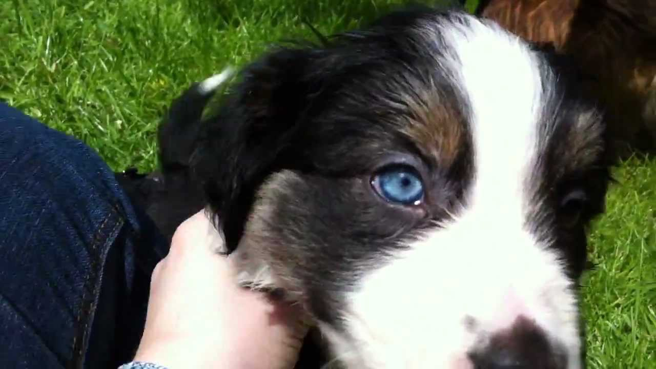 Tri colour border collie puppy 7 weeks quot tally quot youtube