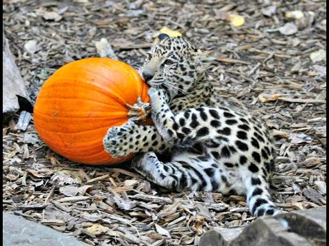 baby jaguar with pumpkins at the tulsa zoo youtube. Black Bedroom Furniture Sets. Home Design Ideas