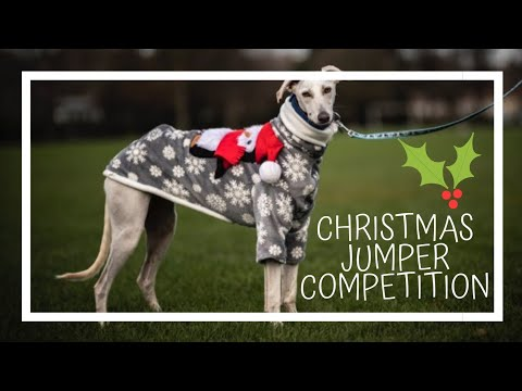 Merlin won the Christmas Jumper competition 🐧   Merlin the Saluki Lurcher