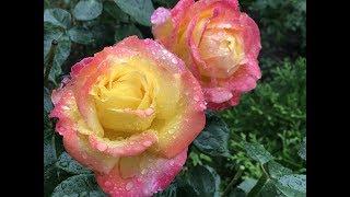 РАЗМНОЖЕНИЕ РОЗ:  Окулировка роз. Часть1 - посев семян шиповника