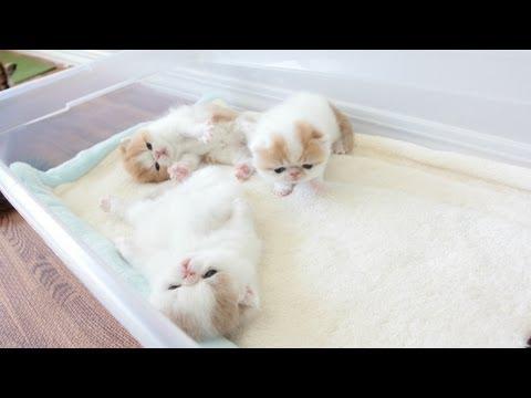 Exotic Shorthair Kittens Waving Hello at 3 Weeks Old