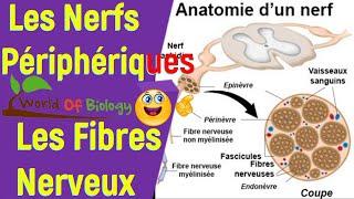 Les Fibres Nerveux et Les Nerfs Périphériques