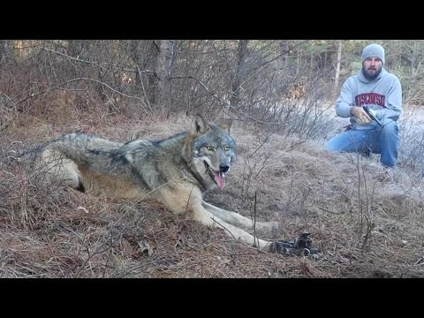 Timber Wolf Release by John Oens 2015 HD