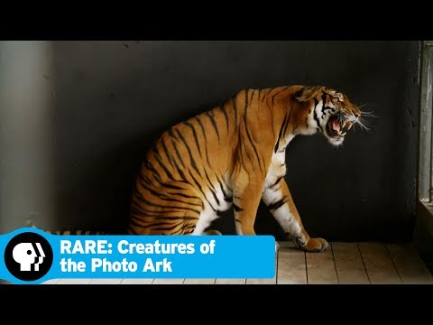 RARE: CREATURES OF THE PHOTO ARK | Creature Clip: South China Tiger | PBS