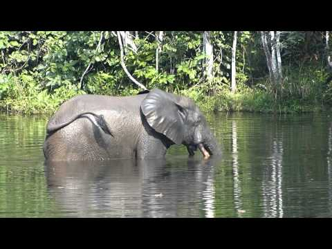 Nouabale-Ndoki National Park, Congo. Elephant meditative video