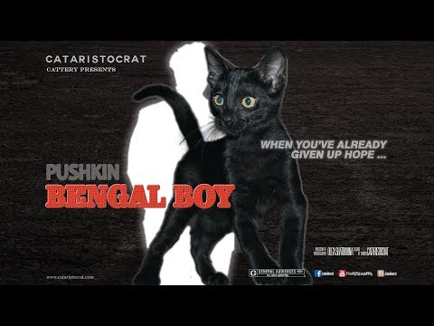 Epic Movie trailer - Black Bengal Kitten  for sale - Cataristocrat Cattery
