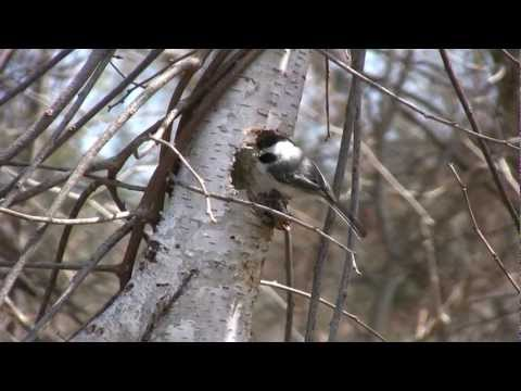 Black Capped Chickadee Making A Nest