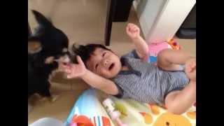 育児力の高いチワワ、泣いている赤ちゃんをペロペロだけで泣きやます