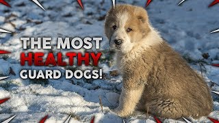 These Are 10 Most Healthy Guard Dog Breeds!