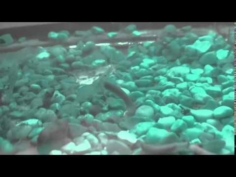 Giant Freshwater Prawn (Shrimp) Aquaponics Vegetable Gardening